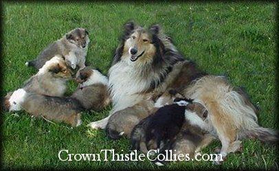 Crown Thistle.jpg