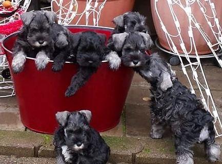 Buget_puppies.2763123_std.jpg