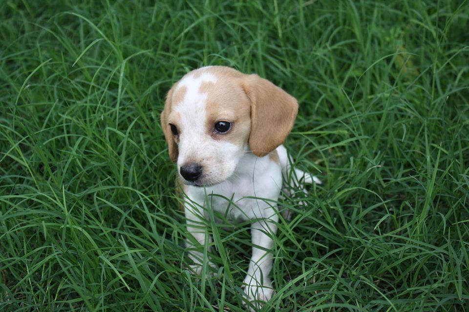 Rocky Top Beagles.jpg