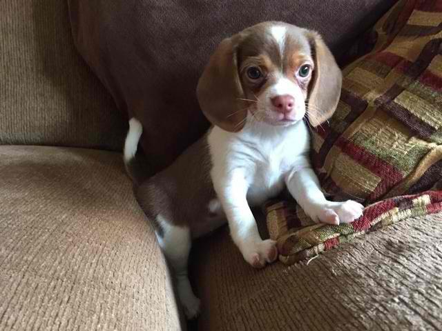 Scarlett's Pocket Beagles and Bulldogs.jpg