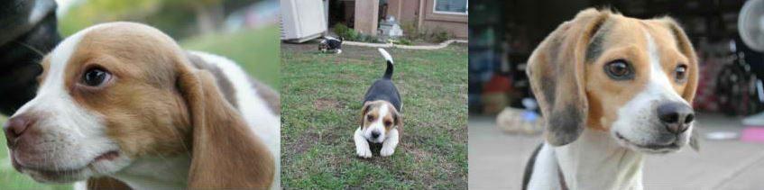 Tiny Beagles Miniature Pocket Beagle Puppies.JPG