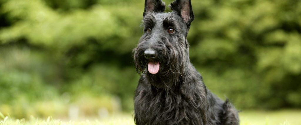 cropped-scottish-terrier-45674-2560x1600.jpg