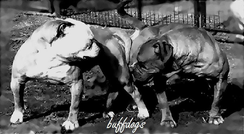 Buffdogs.jpg