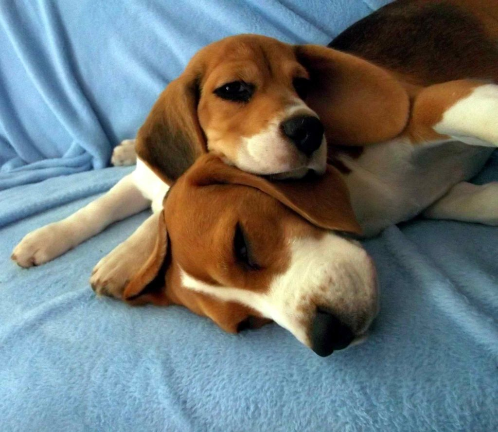 Copper Sky Beagles.jpg