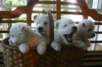 Tinker_x_Paris_puppies_2010.JPG