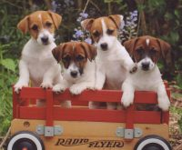 JRT_pups_in_wagon_2009 (1).jpg