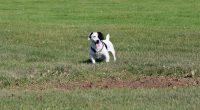 jack Russell terrier dogs for sale.jpg