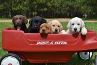 wisconsin-lab-puppies-4.jpg
