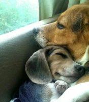 Beagle Puppies ! MASSACHUSETTS.JPG