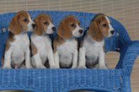 Allegro Beagles.jpg