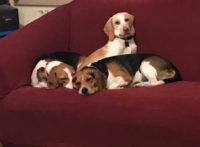 Closure Beagles - Idaho.jpg