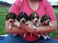 beagles west.jpg