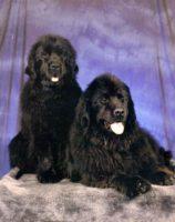 Top Shelf  Newfoundlands and Beagles.jpg